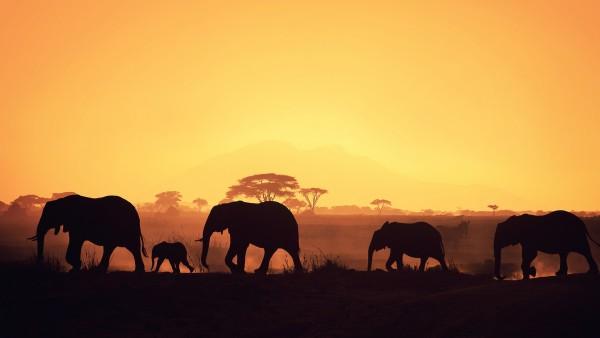Слоны в природе широкоформатные обои скачать