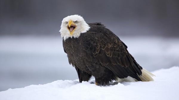 Американский белоголовый орёл обои