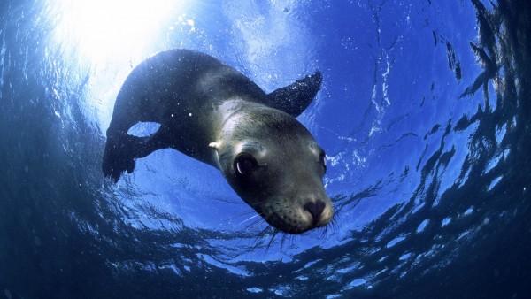 Морской котик фото
