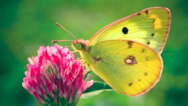 Бабочка картинки на рабочий стол