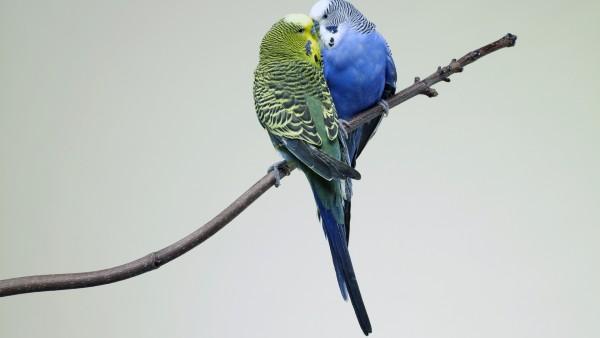 Два маленьких попугая поцелуй на ветке картинки скачать
