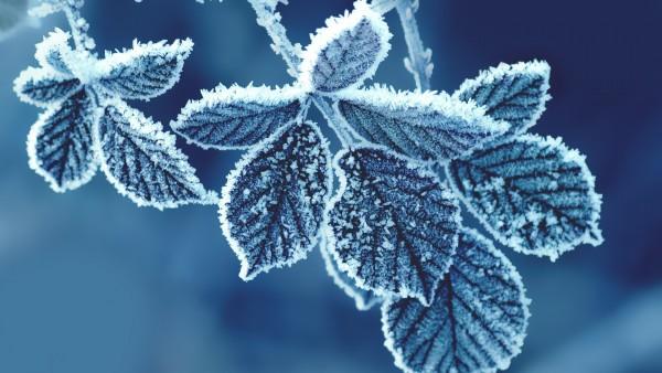 Снежная листва, замороженные ветки, картинки