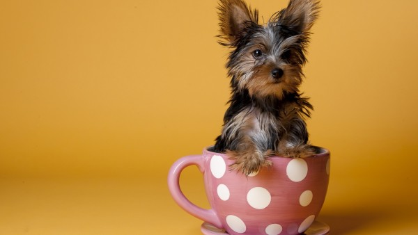 Собачка в чашке смешные обои