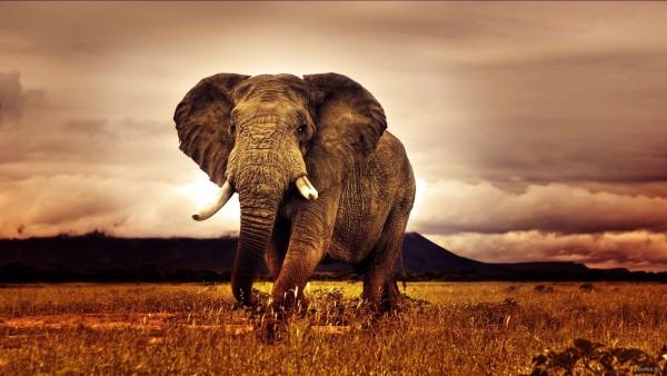 Большой африканский слон