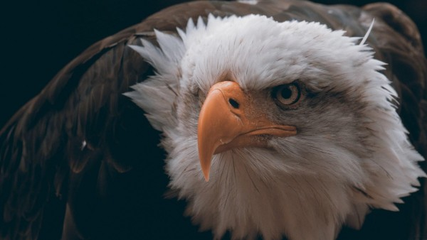 Белоголовый орлан птица обои hd