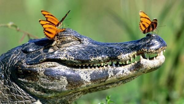 Довольный крокодил и бабочки
