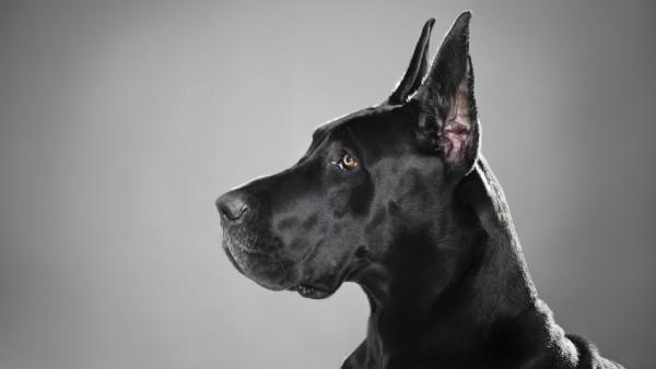 Немецкий дог собака черный картинки на рабочий стол