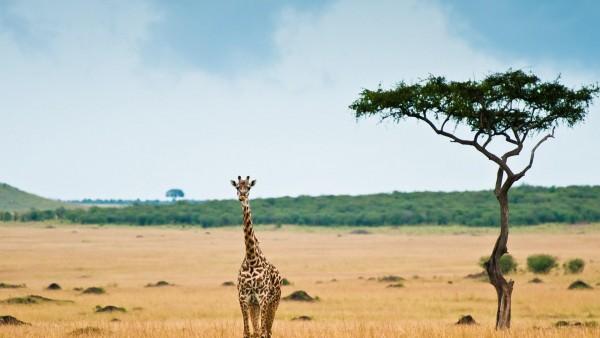 Жираф на природе картинки на рабочий стол