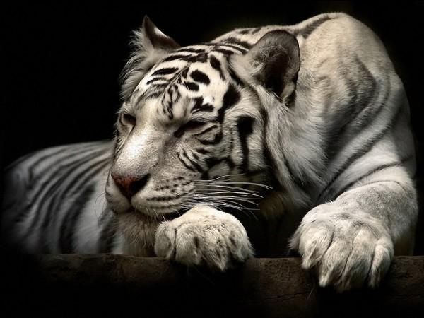 Тигр хищник картинки на рабочий стол