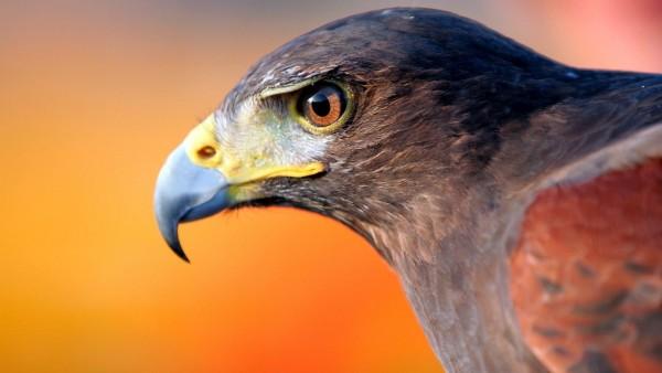 Орел, клюв картинки на рабочий стол