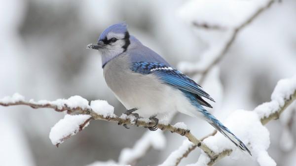 Птица, белый снегирь фото обои