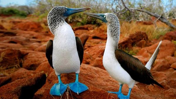 Фото забавных Синелапых Олуш