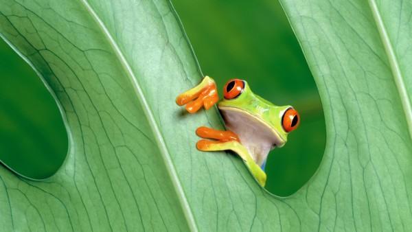 Зеленая лягушка картинки на рабочий стол