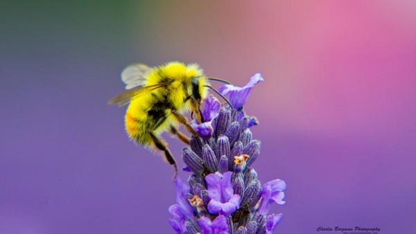 Пчела, цветок, макро, hd, заставки
