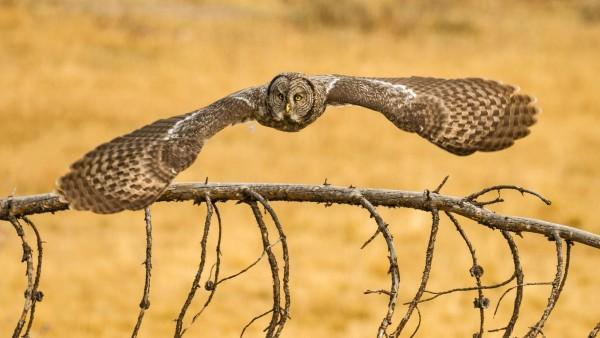 Птица сова в полете бесплатно картинки скачать
