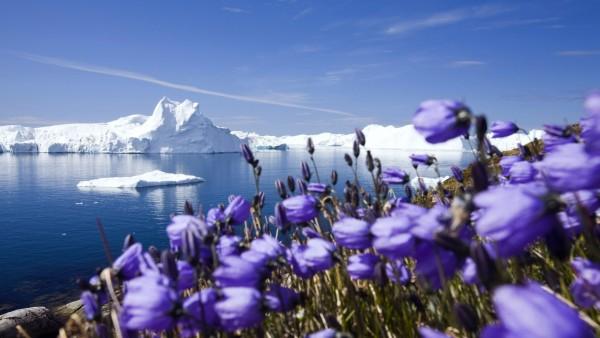 Фиолетовые арктические цветы картинки для рабочего стола скачать