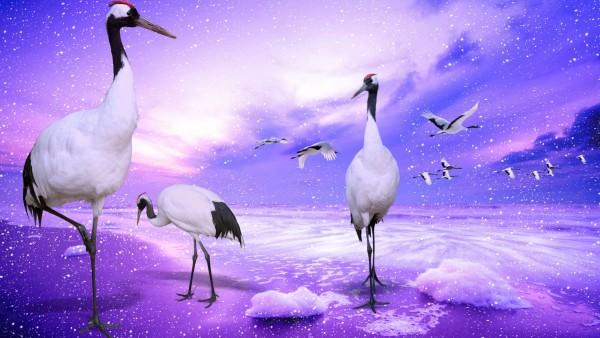 Венценосный журавль птицы картинки для рабочего стола скачать