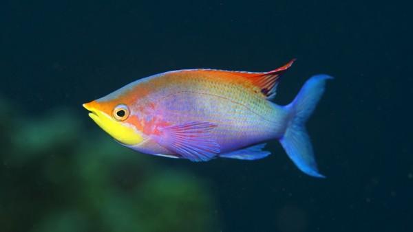 Разноцветная рыбка плавает в море