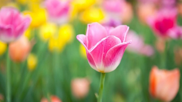 Желтые и розовые тюльпаны картинки для рабочего стола скачать