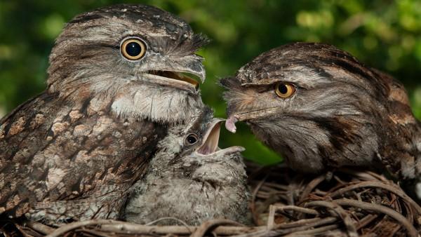 HD обои Фото сов с детенышем в гнезде