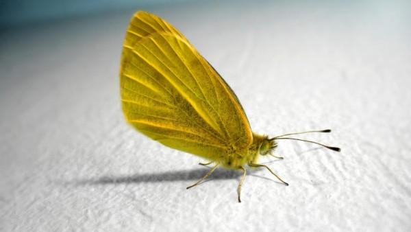 HD обои желтые бабочки фоны