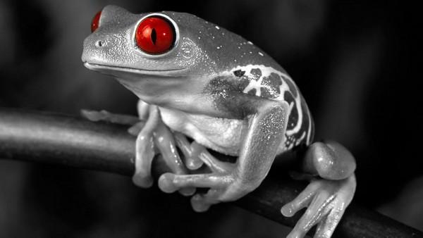 HD обои жаба с красными глазами
