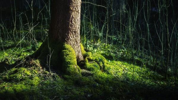 Корень дерева заросший мхом