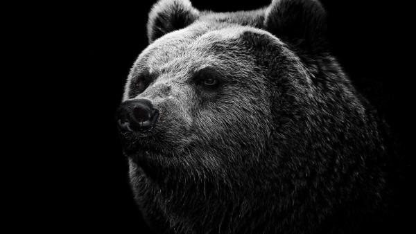 Медведь широкоформатные HD обои скачать на рабочий стол