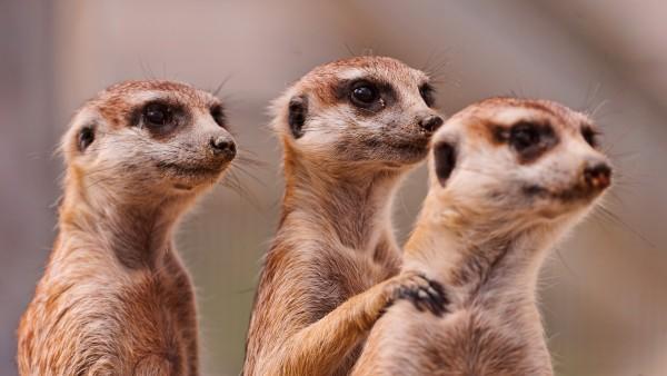 Снимок троих сурикатов смотрящих куда-то вдаль
