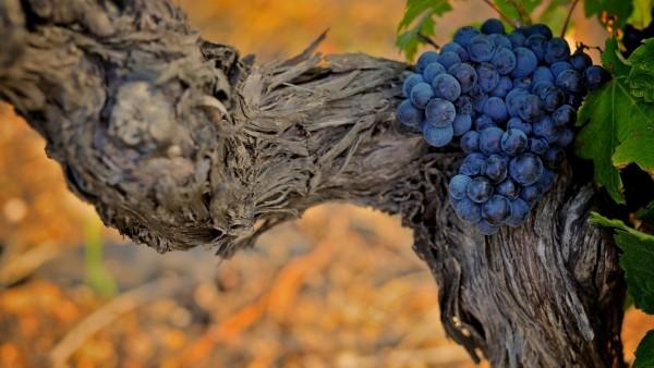 Фото аппетитного винограда