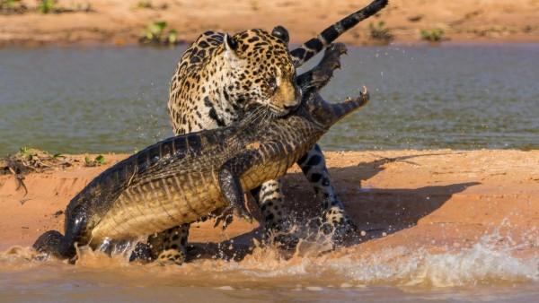 Крокодил, ягуар, добыча, охота, пляж, фоны, заставки
