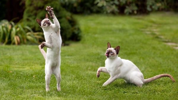 Белые коты на траве играются прикольные обои hd бесплатно