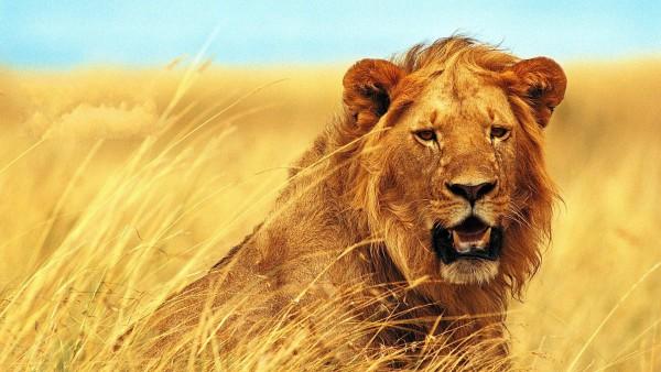 Лев дикий зверь на охоте в сухой траве обои hd бесплатно
