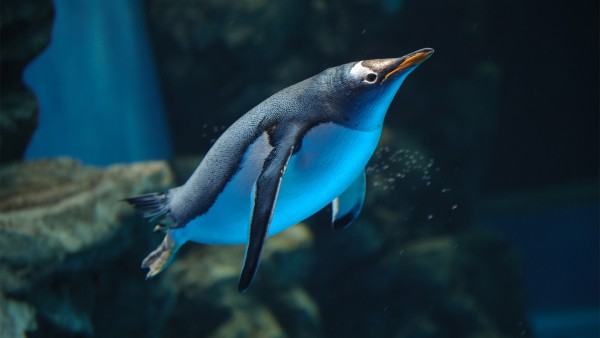 Подводный мир, пингвин в воде, водная фауна, обои hd, бесплатно
