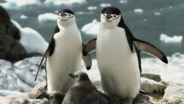 Семейка пингвинов, море, семья, млекопитающие, обои hd, бесплатно