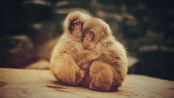 Обнимашки, обезьянки, макаки, животные, детеныши, обои hd, бесплатно