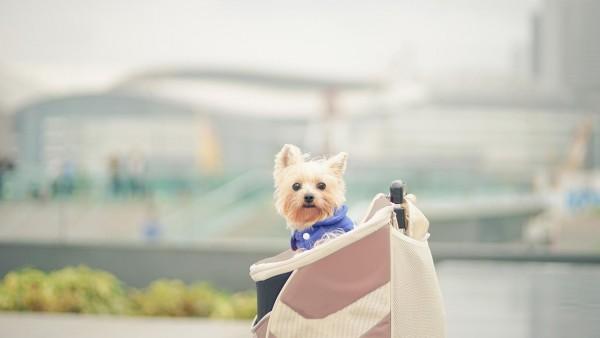 Собака, милый шнауцер, сумочка, собачка, hd фото, картинки