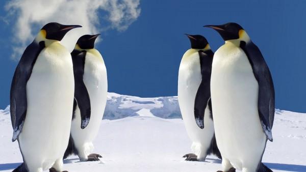 Пингвины, снег, фоны, обои hd, бесплатно