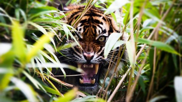 Тигр, охота, обои hd, бесплатно