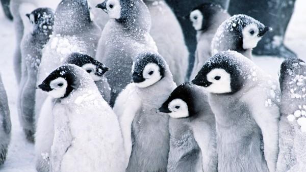 HD заставки пингвинов на рабочий стол бесплатно