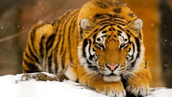 Тигр, снег, охотнк, добытчик, природа, обои hd, бесплатно
