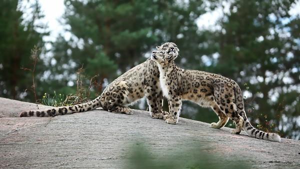 Леопарды, пара, нежность, хищники, камни, животные, HD обои, картинки