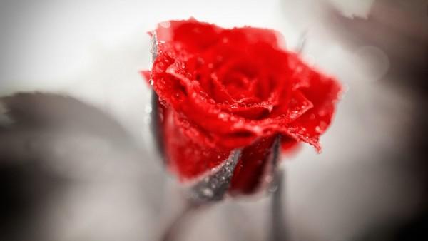 HD макро обои красной розы высокого качества на комп