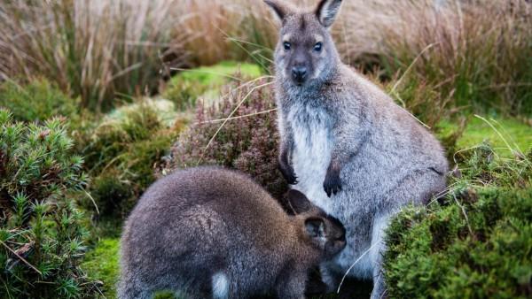 Кенгуру, детские, трава, уход, животные, детеныш, обои hd, бесплатно