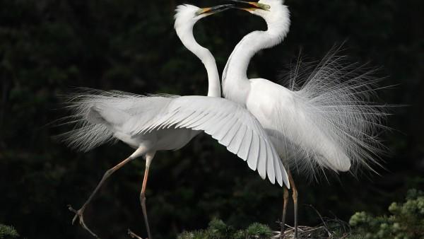 Пара белых лебедей, романтика, картинки, любовь, фото высокого разрешения HD