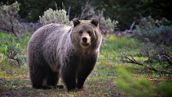 Большой бурый медведь в дикой природе обои hd бесплатно