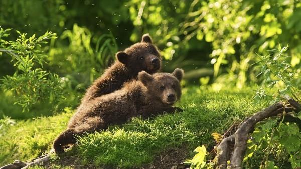 Бурые медвежата в лесу обои hd бесплатно