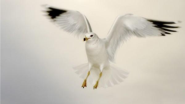 Белая чайка в полете на белом фоне обои hd бесплатно