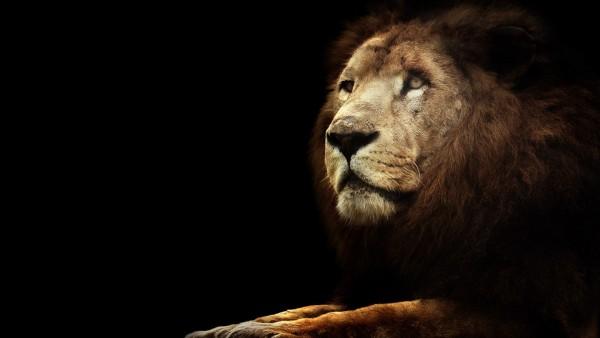 Лев, фоны, животные, хищник, обои hd, бесплатно