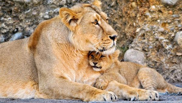 Лев, львица, пара, ребенок, львенок, обои, скачать, заставки